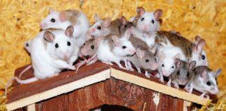 myszy
